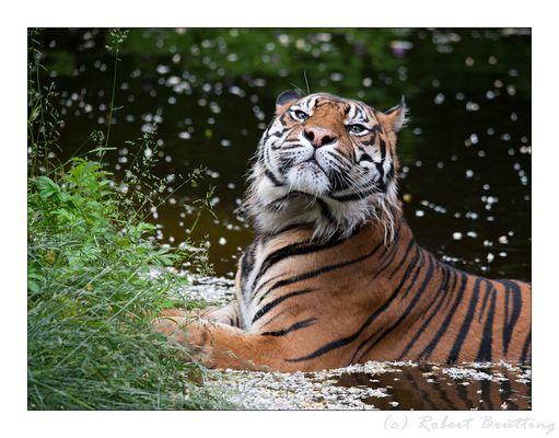 Im Visier des Tigers.