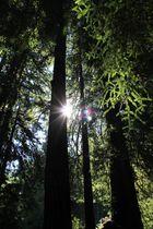 Im Wald der Mammutbäume (Muir Woods National Monument)