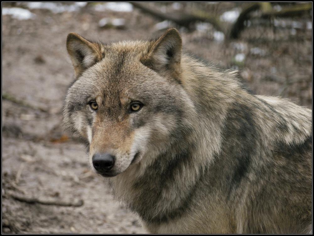 im Wolfscenter Dörverden