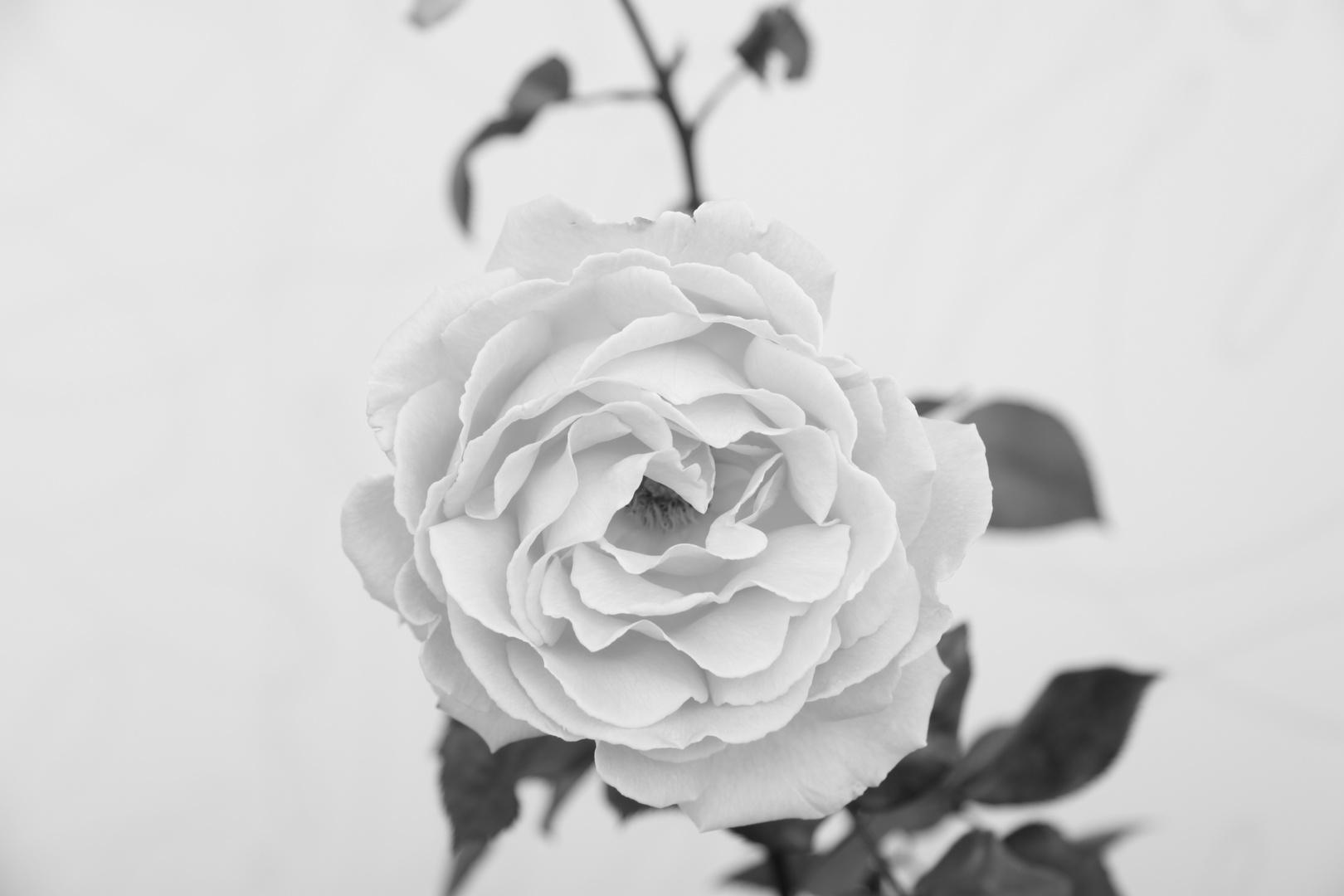 Im Zeichen der Rose