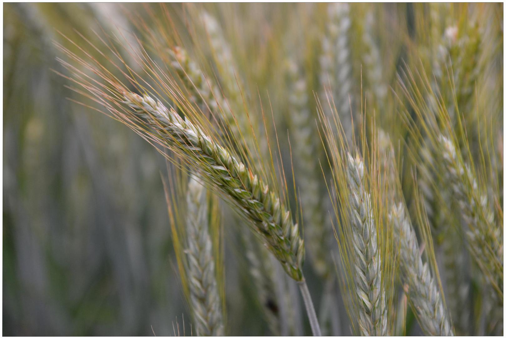imagen de mi nueva cámara V - campo de cereales