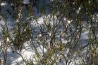 IMG_0105-FC Strauch im Schnee