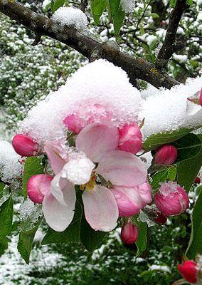 IMG_0255 Apfelblüte mit Schneekleid