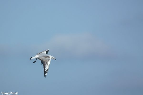 IMG_8993 Mouette Rieuse N 0 2