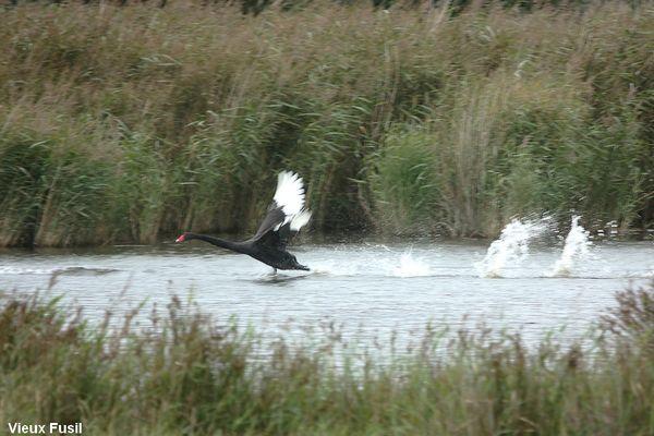 IMG_9179 Cygne Noir au décollage.