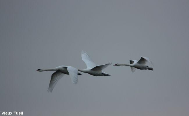 IMG_9278 Cygne blanc en vol