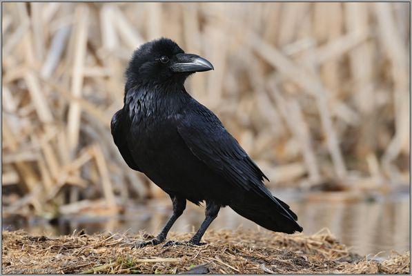 immer auf der Hut... Kolkrabe *Corvus corax*