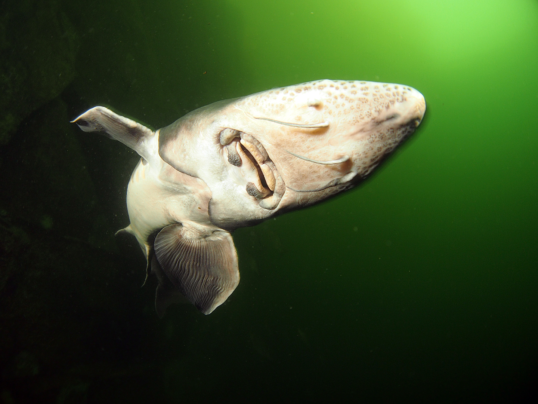 Immer diese Pseudo-Haie