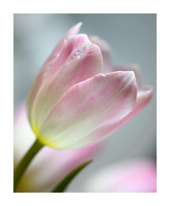 immer noch Tulpen