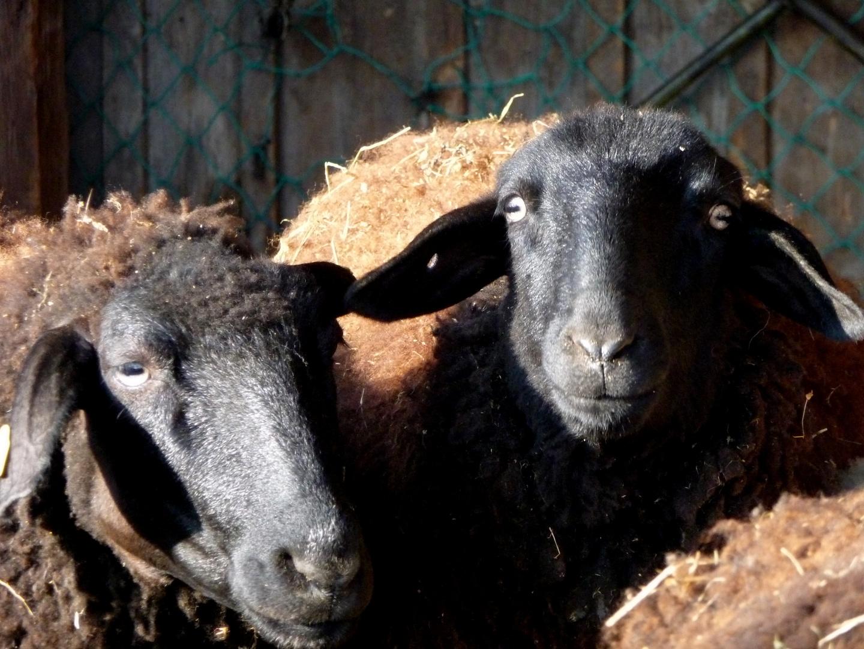 Immer werden wir beschuldigt, nur weil wir  schwarze Schafe sind.....