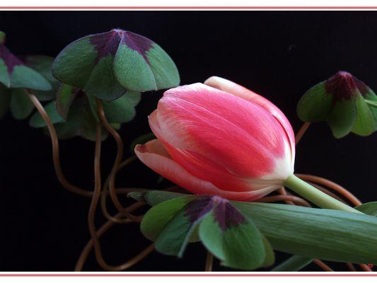 ...immer wieder Tulpen (2)
