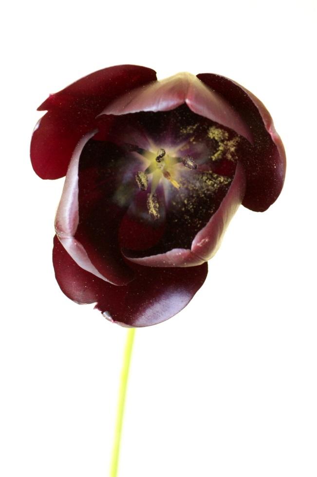 immer wieder Tulpen
