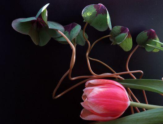 ...immer wieder Tulpen (3)