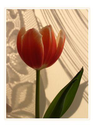 ...immer wieder Tulpen (4)