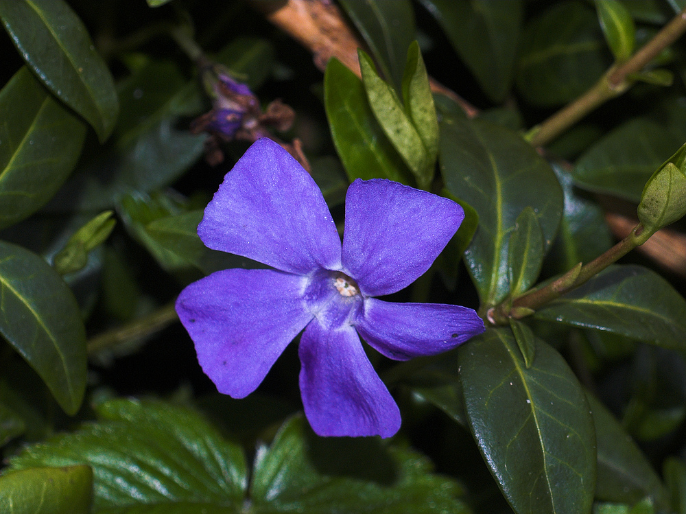 Immergrün (Vinca major) (sagt Helga)