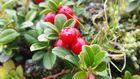 Immergrüne Bärentraube 'Arctostaphylos uva-ursi'