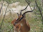 Impala - Afrika