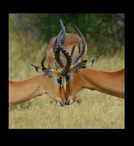 Impala Battle