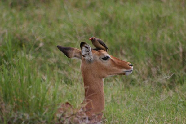 impala et pique-boeuf