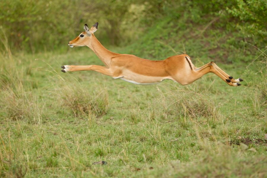 Impala im Flug