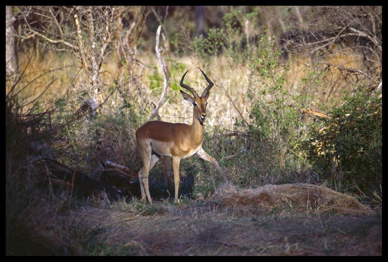 Impala in Südafrika