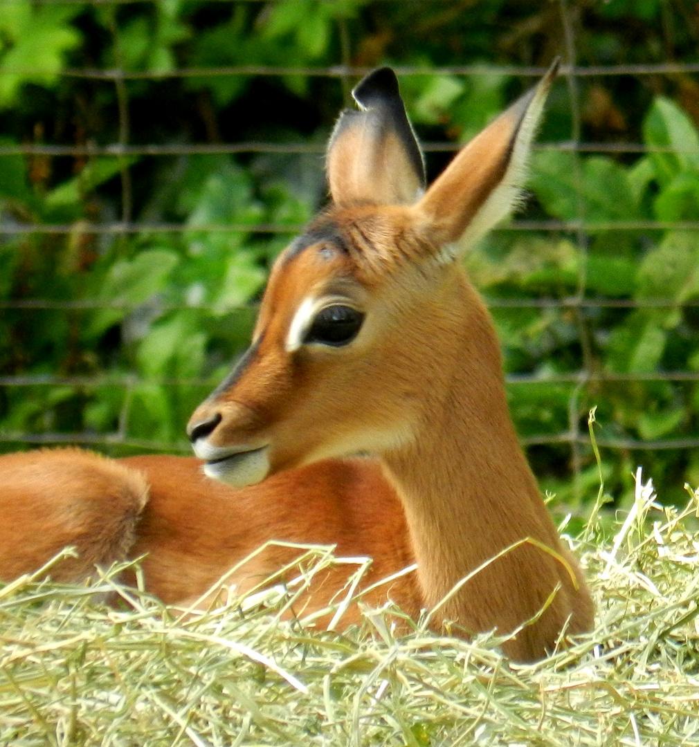 Impala - Nachwuchs