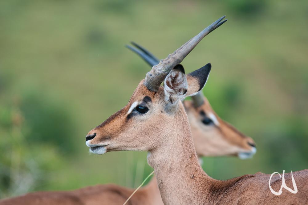 Impala-Portrait