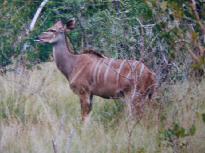""" Impala "" Südafrika Safari * 6 *"