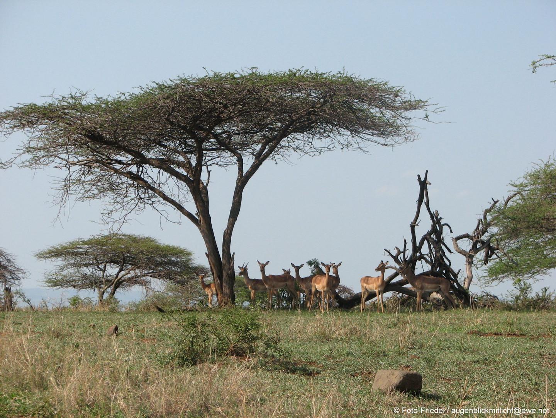 Impala unter einer Akazie
