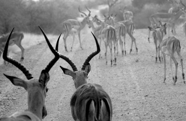 Impala walk