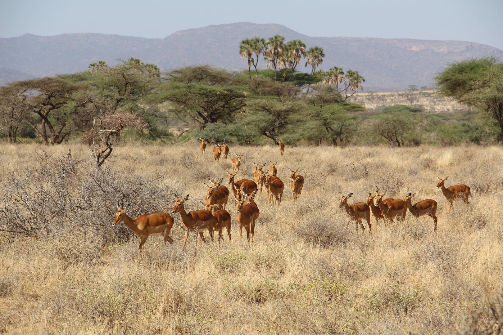 Impalafamilie unterwegs im Samburu Nationalpark