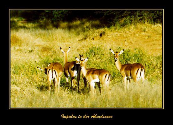 Impalas im Chobe N.P.
