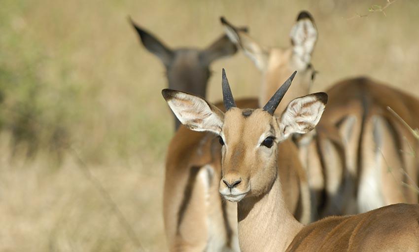 Impalas im Morgenlicht