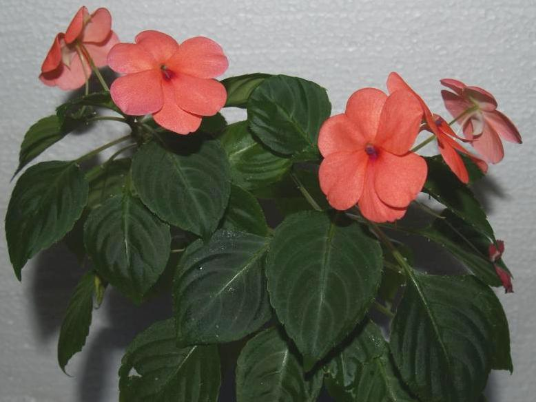 Impatiens walleriana 1