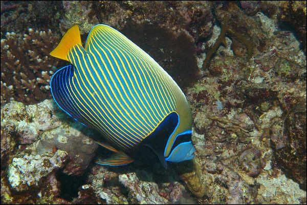 Imperatorkaiserfisch