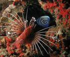 Imperatorkaiserfisch in Gefahr