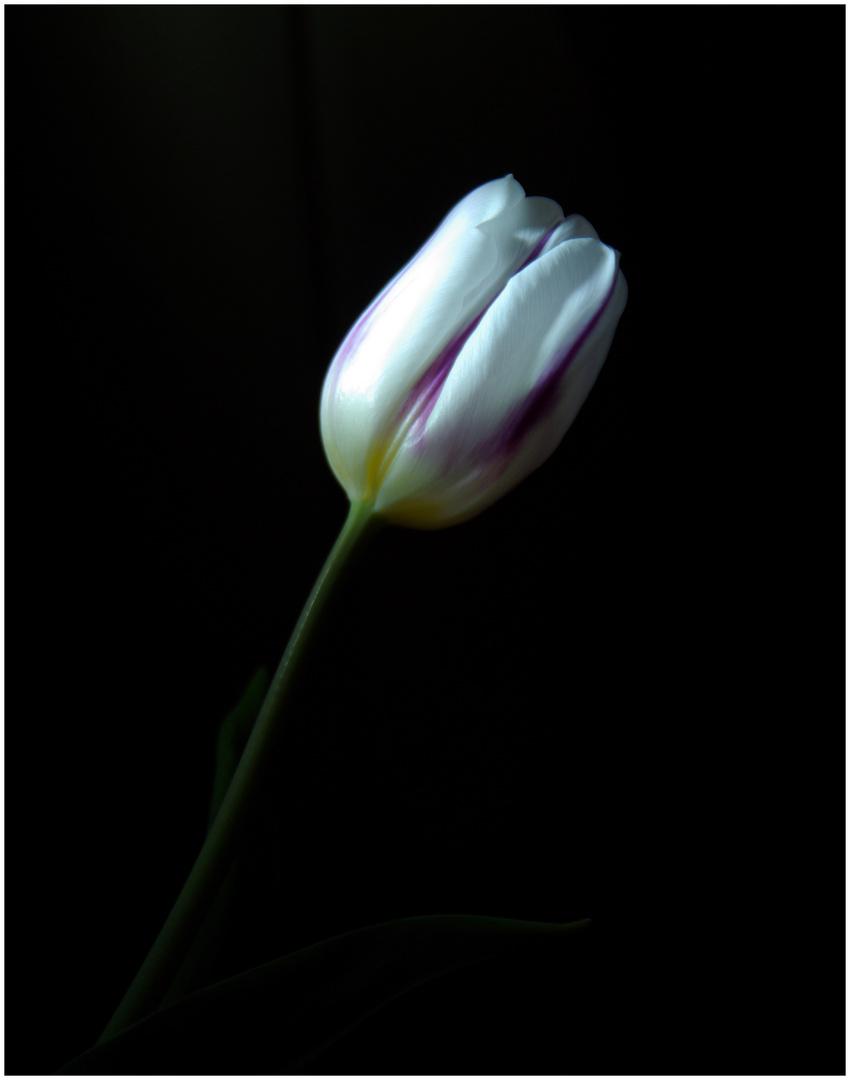 Impression einer Tulpe :D