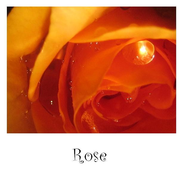 Impressionen einer Rose