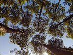 Impressions de la forêt landaise - 4 -- Eindrücke von dem Landes-Wald – 4