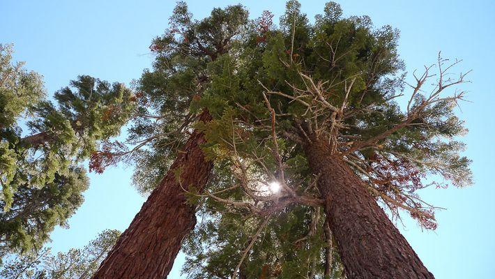 in californien wachsen die bäume in den himmel