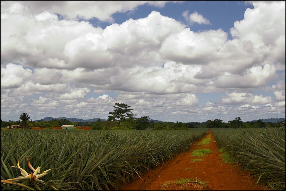 In den Ananas-Feldern ...