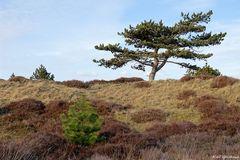 In den Klitplantagen von Rømø