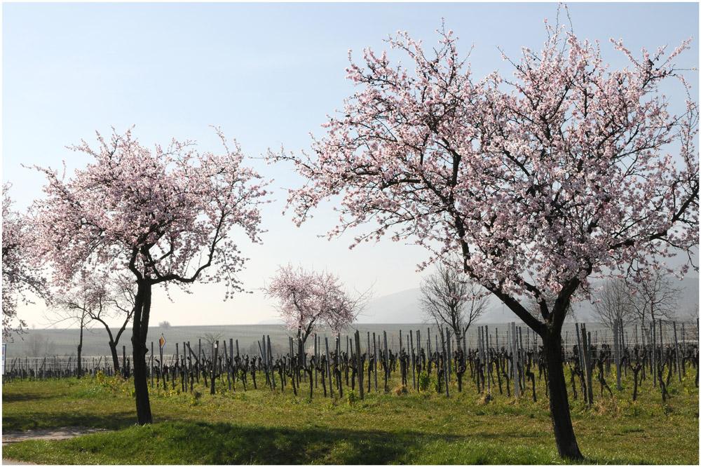 In den Weinbergen der Pfalz II