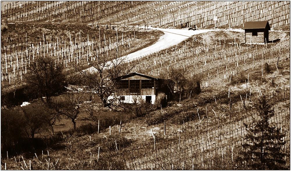 ... in den Weingärten ...
