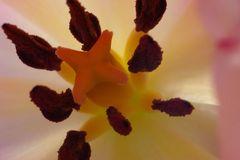 in der Tulpe