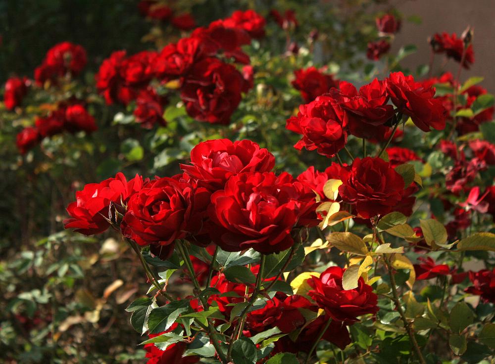 In einem Stammersdorfer Rosengarten