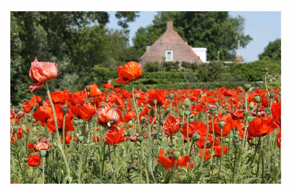 In Holland wo der Mohn blüht...