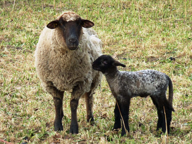 In jeder Herde gibt es ein schwarzes Schaf