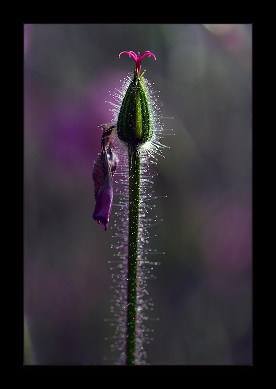 in purple...