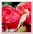 in rosa gehüllt...